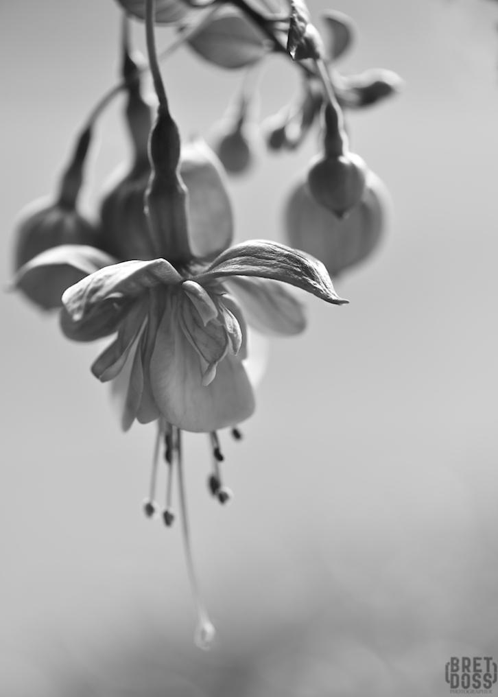 Fuscia plant © Bret Doss 2015 001