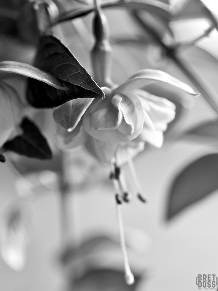 Fuscia plant © Bret Doss 2015 002