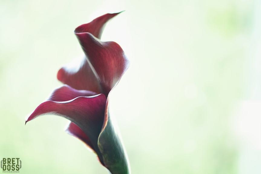 May Calla Number 1  © Bret Doss 2016 04